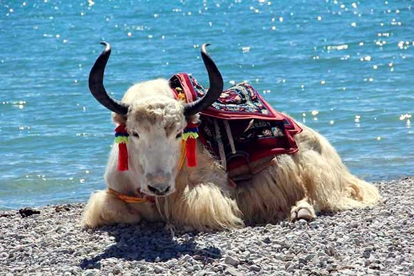 A White Yak by the side of Namtso Lake