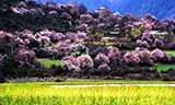 Nyingchi Peach Blossom Culture Tourism Festival starts on March 29th