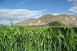 Highland Barley on Tibetan Plateau
